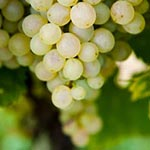 Can White Wines Be Healthy Too article thumbnail